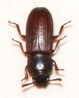 flour beetle